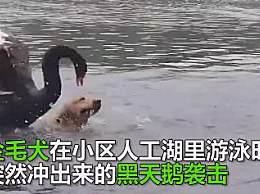 金毛游泳竟遭黑天鹅毒打 网友:狗生艰难!