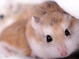 仓鼠吃什么会立马死?仓鼠不能吃的食物有哪些
