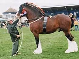 世界上最大的马 身长210公分创世界纪录