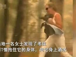 澳大利亚山火肆虐 小考拉爬过森林被人类救助