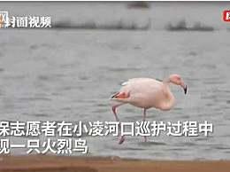 火烈鸟可能迷路了 火烈鸟智商不高离群后迷路了