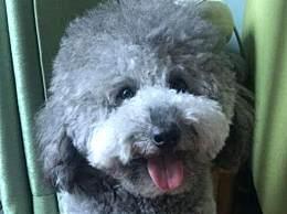 灰色泰迪犬多少钱一只 灰色泰迪犬最新市场价