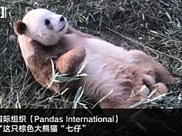 棕色大熊猫被认养 棕色大熊猫七仔被谁认养了