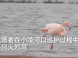 火烈鸟可能迷路了 志愿者称:它智商不高,或将在东北越冬