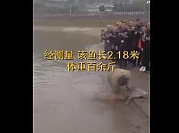 """重庆发现2.18米长江鲟 号称""""水中大熊猫"""""""