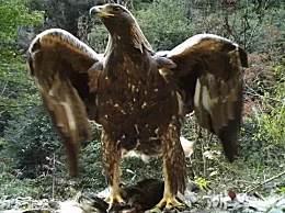 神农架1.2米金雕 金雕脚踩猪獾拍打双翼帅呆了