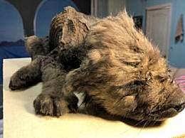 小狼狗冰冻近2万年 死于18000年前牙齿胡须保存完整