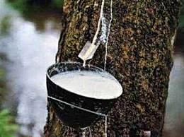 世界上最神奇的树 这种树竟然会流牛奶