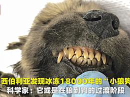 冰冻万年的小狼狗 标本完整似狼又似狗