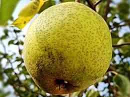 冬天吃什么水果好?冬天皮肤干燥吃什么水果补水