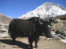 西藏羊卓雍措旅游怎么玩?羊卓雍措旅游攻略收下吧!
