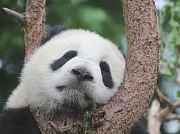 大熊猫为什么能成为国宝?大熊猫是不是只能吃竹子?