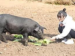 300头黑猪做陪嫁 美女大学毕业生深山养黑猪仍单身