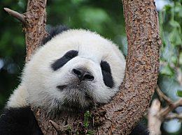 熊猫为什么有黑眼圈?熊猫黑眼圈竟有这样的作用