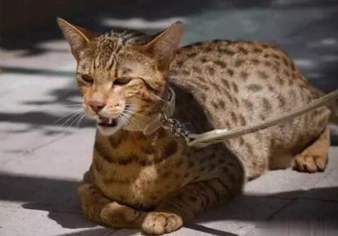 世界上最贵的猫 价值61万