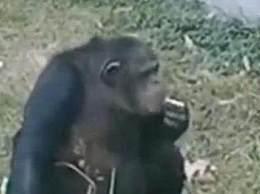 猩猩给饲养员洗衣 猩猩给饲养员洗衣简直成精了