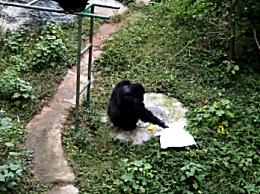 猩猩给饲养员洗衣 猩猩观看饲养员洗衣服竟然学会了