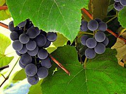 葡萄籽胶囊什么牌子好 口碑好的葡萄籽品牌排行榜前十