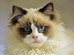布偶猫多少钱一只?布偶猫饲养经验方法
