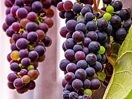 葡萄籽有什么功效 女人吃葡萄籽有哪些作用和好处