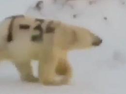 """北极熊身上被赐字""""T-34""""  网友声讨:北极熊失去保护色会饿死"""