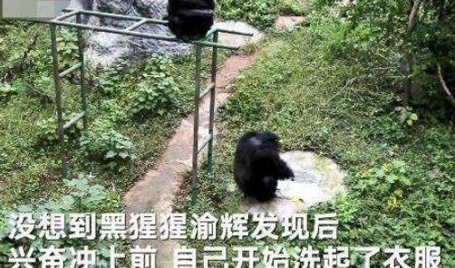 猩猩给饲养员洗衣 高智商黑猩猩成精了?