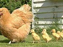 英学生认为奶牛下鸡蛋 奶牛下鸡蛋是什么道理?