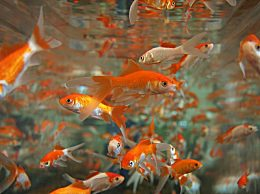 风水鱼有哪些种类?风水鱼的养殖方法和讲究