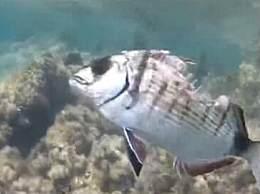 奇闻!鱼被咬的露鱼骨 仍然坚强活着