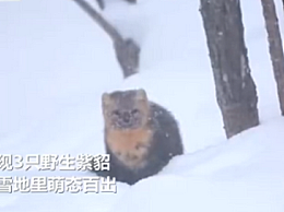 吉林延边发现野生紫貂 小家伙雪地里埋头刨挖萌态十足