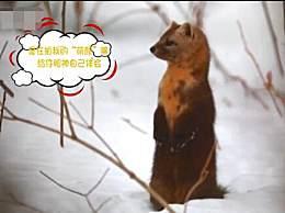 吉林延边发现野生紫貂 雪地里玩耍萌态百出