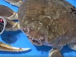 世界上最贵的螃蟹 一直螃蟹拍出500万天价