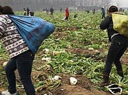 200亩萝卜被拔光 菜农萝卜被拔光欲哭无泪