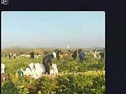 200亩萝卜被拔光 菜农损失超40万还有人在直播