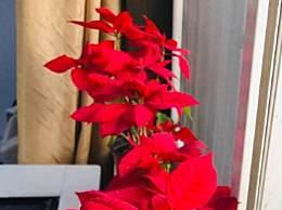 一品红怎么养 一品红适合放在卧室吗