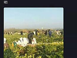 价值40万200亩萝卜被拔光 有人边拔萝卜边唱歌跳舞搞起直播