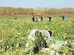 200亩萝卜被拔光 误传200亩萝卜免费遭疯抢