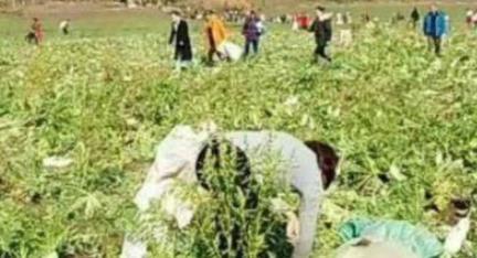 200亩萝卜被拔光 菜农被虚假造谣损失40万
