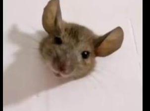 老鼠太胖被卡墙上 网友看后还挺可爱的