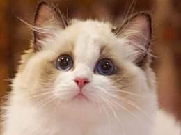 世界上最漂亮的猫排行榜 布偶猫凭颜值俘获全球