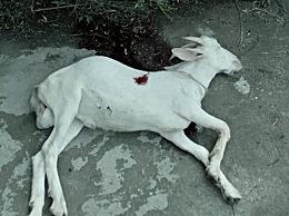 误杀中为什么频繁出现羊的镜头?误杀中的羊有什么寓意?