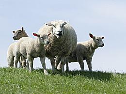 羊羔毛和羊羔绒的区别和鉴别方法