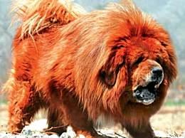 世界上最贵的狗 红色藏獒出生拍出千万天价