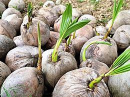 椰子摘下来能放多少天