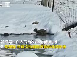 青海湖拍到荒漠猫 是13种猫科动物中唯一的中国特有种