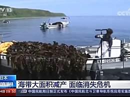 日本海带面临消失危机 海带大面积减产海带价格上涨
