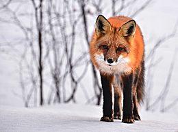 大兴安岭红狐长什么样子?大兴安岭发现野生火狐十分美丽