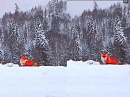 红狐现身大兴安岭 大兴安岭红狐长什么样