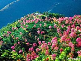 无量山樱花谷迎来最佳观赏期 春暖花开醉人眼