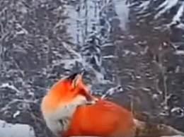 红狐现身大兴安岭 橙红皮毛太亮眼